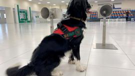 38 con chó đánh hơi tìm người mắc COVID-19 ở sân bay với tỷ lệ chính xác 98,2%