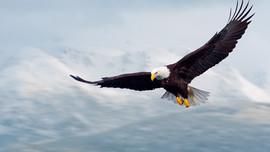 Đại bàng nhổ lông: Ngụ ngôn đầy thâm ý về kết cục của những kẻ mưu mô hại người
